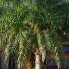 Phoenix roebelenii Карликовая финиковая пальма cемян