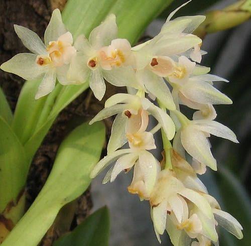 Pholidota articulata orchid seeds