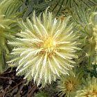 Phylica pubescens cabeza de pluma semillas