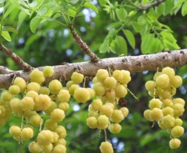 Phyllanthus acidus Otaheite Gooseberry - Star Gooseberry seeds