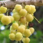 Phyllanthus acidus  semi
