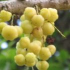 Phyllanthus acidus Otaheite Stachelbeere - Stern Stachelbeere Samen