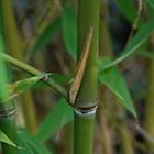 Phyllostachys glauca Yunzhu Bambus Samen