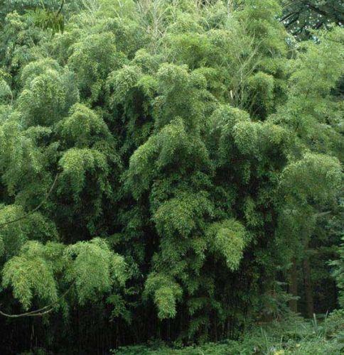 Phyllostachys heteroclada water bamboo seeds