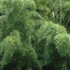 Phyllostachys heteroclada Водяной бамбук cемян