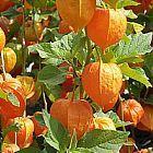 Physalis peruviana Coqueret du P?rou semi