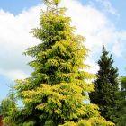 Picea orientalis Kaukasus-Fichte  Samen