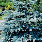 Picea pungens Blaufichte Samen