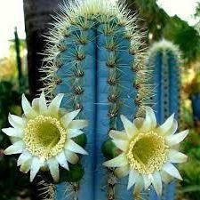 Pilosocereus azureus Blue Torch Cactus seeds