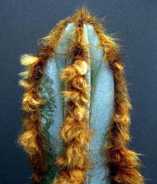 Pilosocereus fulvilanatus Blue Columnar Cactus seeds
