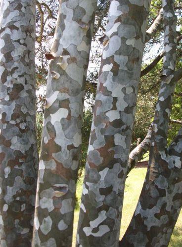 Pinus Bungeana Lacebark Pine Bonsai Seeds