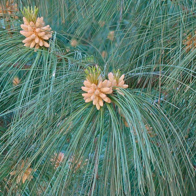 Pinus wallichiana Mexikanische Pinie Samen