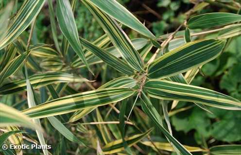 Pleioblastus fortunei dwarf whitestripe bamboo seeds