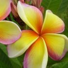 Plumeria rubra Imperial Crown