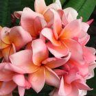 Plumeria rubra Salmon Pink Frangipani - Wachsblume Samen
