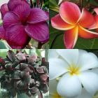 Plumeria rubra mixed colours