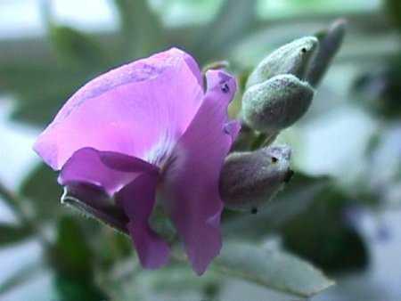 Podalyria calyptrata tree sweet pea seeds