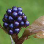 Pollia thyrsiflora Perlenpflanze Samen