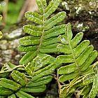 Polypodium thyssanolepis T?pfelfarn Samen