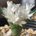 Polyxena ensifolia  cемян