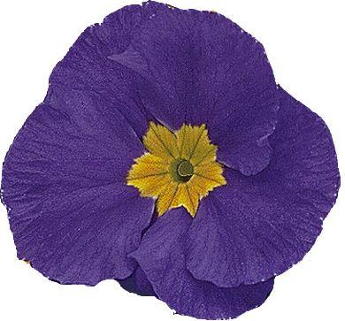 Primula vulgaris Primrose Daniella Blue F1 Primrose Daniella Blue F1 seeds