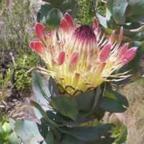 Protea eximia arbusto azucarado de hojas anchas semillas