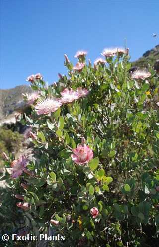 Protea mundii Protea - sugarbush seeds
