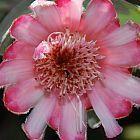 Protea mundii  cемян
