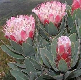 Protea subvestita Waterlily Sugarbush seeds