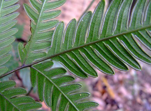 Pteris biaurita fern seeds