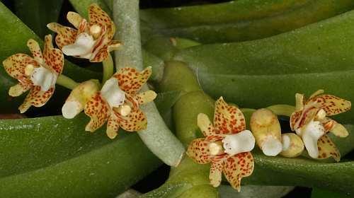 Pteroceras leopardinum orchids seeds