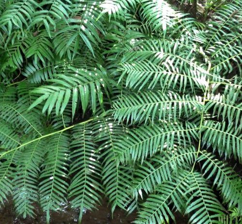 Ptisana fraxina var. salicifolia Caudex fern seeds