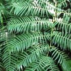 Ptisana fraxina var. salicifolia Caudex Farn Samen