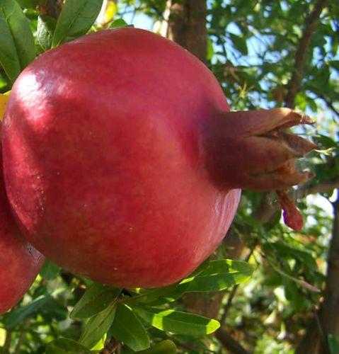 Punica granatum var. nana Dwarf Pomegranate seeds