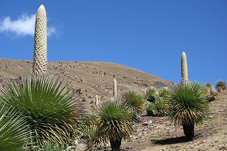 Puya raimondii Queen of the Andes seeds