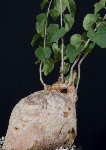 Pyrenacantha malvifolia Caudiciform seeds