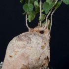 Pyrenacantha malvifolia Caudexpflanze Samen