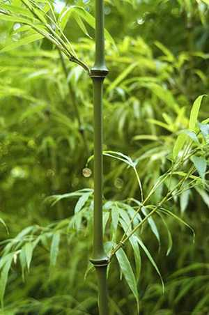 Qiongzhuea tumidinoda walking stick bamboo seeds