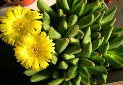 Rabiea difformis syn: Nananthus difformis seeds
