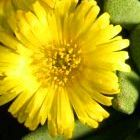 Rabiea difformis syn: Nananthus difformis Samen