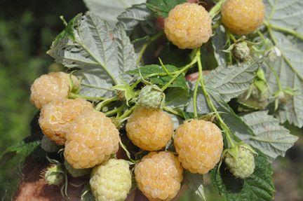 Raspberry Yellow Green raspberry seeds