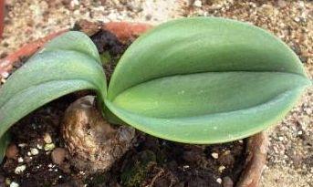 Rauhea peruviana syn: Rauhea multiflora seeds