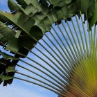 Ravenala madagascariensis  semi