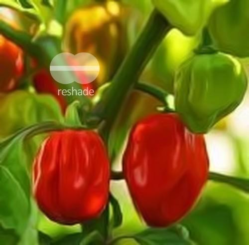 Red Savina Habanero Chili chilli seeds
