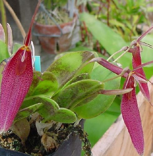Restrepia lamsbergii orchids seeds