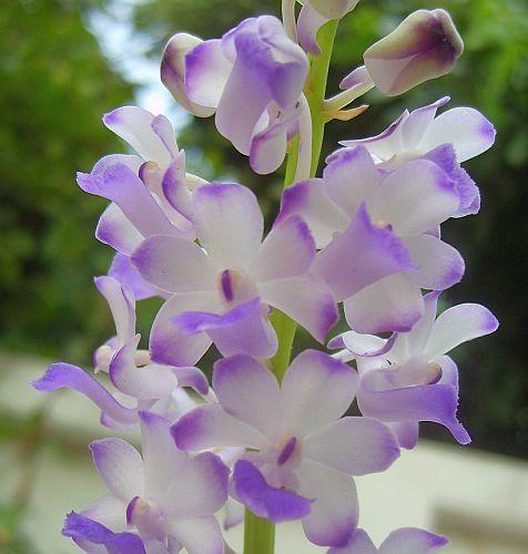 Rhynchostylis coelestis orchids seeds