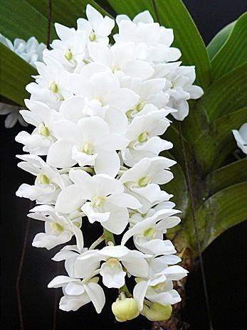 Rhynchostylis coelestis alba orchids seeds