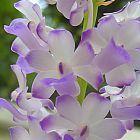 Rhynchostylis coelestis orchid?es graines