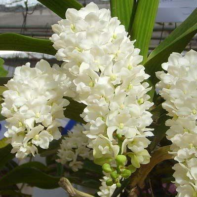 Rhynchostylis gigantea alba Orchids seeds