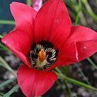Romulea amoena s?dafrikanischer Krokus Samen